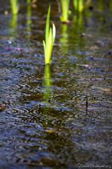 Nature 2017 (dareangel_2000) Tags: dariacasement nature wildlife outdoors spring 2017 northernireland coantrim oxfordisland plant water green foliage flower springtime