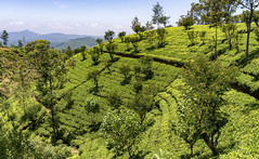 Tea plantation in the Horten-Plains (solar.empire) Tags: tea tee plantage anbau grün green hortenplains