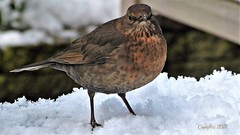 Lady Blackbird - Mevrouw Merel (Cajaflez) Tags: bird vogel oiseau snow sneeuw winter mygarden mijntuin merel female blackbird