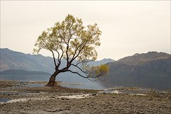 wanaka-6411-ps-w (pw-pix) Tags: lake beach sand mud gravel stones roots water tree thattree famoustree cliche reflections shore sandy gravelly mountains haze hazy cloudy overcast clouds cloud lakewanaka wanaka southernalps skifields southisland nz newzealand
