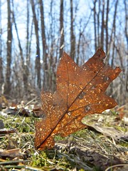 Going Down... (deanspic) Tags: spring oak oakleaf leaf riverdale forest macro g1x riverdaleforest