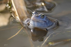 Moorfrosch (Caora) Tags: frog pond eggs frosch laich germany march blue moorfrosch moor