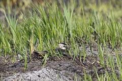 Greylake Birds in the Sun (Robin M Morrison) Tags: rspbgreylake rspb somerset lapwing nesting nest