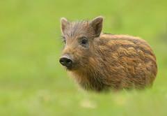 Wild Boar - Piglet (oddie25) Tags: canon 1dx 600mmf4ii boar wildboar piglet humbug forestofdean nature naturephotography wildlife wildlifephotography