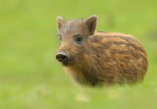 Wild Boar - Piglet