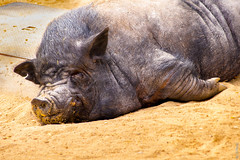 It's Been a Hard Day (Pig, Zoo, Madrid, Spain) (G.Roca) Tags: spring sand sleeping laying resting ugly oink animal porky domesticated dirty daylight spain pork zoo funny ears pig hairy madrid dirt tired rest outdoors farm