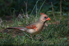 Female Northern Cardinal (Kevin James54) Tags: cardinal cardinaliscardinalis nikond500 northerncardinal peacevalleypark tamron150600mm animals avian bird kevingianniniphotocom