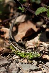 Sand Lizard (Lacerta agilis) 1 (BenjaminMichaelMarshall) Tags: herpetofauna dorset wildlife benmarshall animal lizard reptile sand