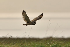 Short Eared Owl (Severnrover) Tags: owl short eared afternoon spring april