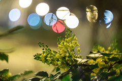 Ilex aquifolium (::Lens a Lot::) Tags: night bokeh depth field street photography flower color blue pink red yellow green vintage manual prime lens german profondeur de champ extérieur effet plante fleur carlzeissjena fond noir carl zeiss jena biotar t 58mm f2 1q 1952 | 12 blades m42 macro ilex aquifolium houx holly commonholly englishholly europeanholly christmas