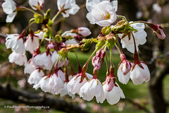 Cherry blossoms 4813 (Paul Henman) Tags: toronto highpark 2017 torontophotowalks cherryblossoms paulhenman topwrs ontario canada paulhenmanphotographyca topw photowalk httppaulhenmanphotographyca