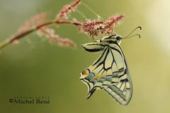 charmeur, va... (studio gimi) Tags: insecte macro marais grosplan planrapproché profondeurdechamp depthoffield extérieur outdoor sigma105mm macrodreams machaon butterfly