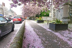 Pink Snow... (Mel Low) Tags: blossom snow flora beccles suffolk nikon