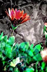 IMG_6098 The shadows of spring (Rodolfo Frino) Tags: flower flowers flor flores flora natur nature natura naturaleza plant plants plantas red green black gray grey white shadows contrast outside digital primavera
