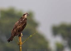 Osprey !!! (Arindam.Bhattacharya) Tags: osprey pandionhaliaetus india indianwildlife indianbirds westbengal purbasthali fisheagle nature naturephotograph wildlife