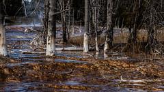 Yellowstone (Photo Alan) Tags: nature yellowstone yellowstonenationalpark spring tree trees travel water