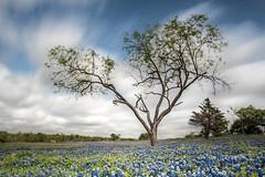 Bluebonnets (brian.pipe) Tags: nikon d500 sigma 17 50 long exposure bluebonnets park ennis texas tx