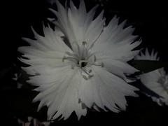 Spring Black (mayavilla) Tags: spring black flor primavera descolorida jardin flower shadows white blancs noir garden clavellina