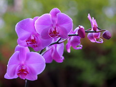 orchid... (quarzonero ...Aldo A...) Tags: orchidea orchid flowers nature natura spring coth sunrays5 coth5