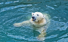 Polar bear swimming in water (♥Oxygen♥) Tags: bear polar wet white head face predator water nature animal wildlife mammal north fur swim ecology hunter northern coat arctic fauna antarctic swimmer zoo wild exotic big blue closeup cold cute danger ice one sea species standing swimming nose green surface heavy ursus bathing dangerous powerful marine hair ear