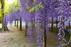 DSC_1619 (sayo-tsu) Tags: 藤 wisteria 牛島のフジ 春日部市 埼玉県 kasukabe saitama 特別天然記念物