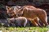 20170402-Mähnenwolf, Tiergarten Nürnberg-012.jpg (serpentes80) Tags: mähnenwolf tiere tiergartennürnberg
