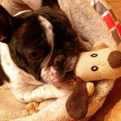 2017-03-14 20.47.20-2 (Anastasia Neto) Tags: dog dogphotography dogs dogmodel dogphotographer puppies puppy petmodel petphotography pet pets petphotographer funnydog frenchie frenchies frenchbulldog frenchbulldogs funnydogs cutepuppies bulldog bulldogs