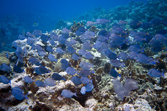 Blue Tang (Jeff Mitton) Tags: bluetang surgeonfish coral reef tropical marine school caribbean guanaja honduras earthnaturelife wondersofnature