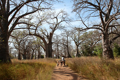 Crossing the Baobabs forest (daniel.virella) Tags: baobab westafrica senegal africa chariot man forest nature trees picmonkey