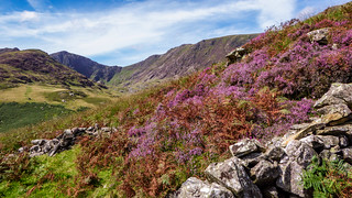 Grug y Mynydd ( Mountain Heather )