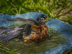 Robins bathtime (BethR.photography) Tags: wildlife birds nature baths robins