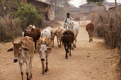 Rural village (wietsej) Tags: rural village kawardha chhattisgarh india sonyalphadslra900 a900 sal70200g 70200 tribal cows cattle