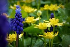 2017-04-05+garden+%2827%29muscaris