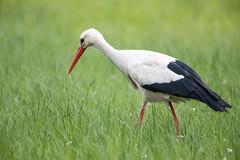 Stork (bloedmann999) Tags: dümmersee storch stork