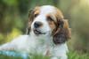 Kooiker puppy (burry) Tags: dog hond kooikerhondje pup puppy young pet lief onschuldig jong innocent adorable nice aaibaar huisdieren honden dogs