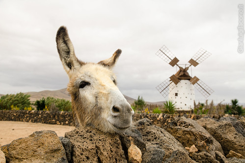 A Happy donkey in Fuerteventura