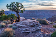 Evening at Dead Horse Point (Kirk Lougheed) Tags: coloradoplateau deadhorse deadhorsepoint deadhorsepointstatepark usa unitedstates utah canyon evening juniper landscape outdoor sandstone statepark tree