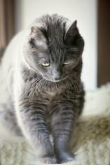 12/52❤ (clo dallas) Tags: cats feline gatti pets animal mycat teo home nature portrait inexplore explore