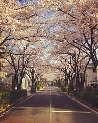 * 4月7日 今年も母と桜並木を歩くことができました。 * * * #sakura #cherryblossom #さくら #桜並木 (laughingmm) Tags: instagramapp square squareformat iphoneography uploaded:by=instagram rise