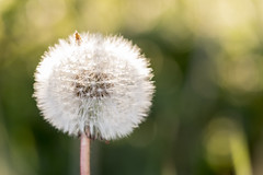 Dandyyy (seankirkhousephotography) Tags: dandelion flower macro seunset upclose