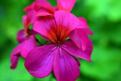 Malvón fuchsia (chavarriamatias) Tags: malvon geronio pelargonium hortorum plant planta green fucsia fuchsia violeta violet verde macro nikon nature naturaleza raynox 250 raynox250 1855 petals petalos pink rosa rosado makro
