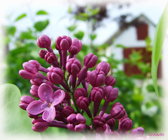 A budding lilac... (Szemeredi Photos/ clevernails) Tags: spring lilac budding bud house leave composition macro flower plant garden outdoor frame