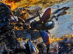 A black insect on the wood. (panoskaralis) Tags: insect bugs fly nature wood outdoor landscape black forest green island lesbian lesbos lesvosisland lesvos mytilene greece greek hellas hellenic aegean aegeansea cute
