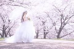 Sakura×Wedding (のの♪) Tags: dd dollfiedream wedding sakura white pink spring さくら 桜 サクラ 桜並木 並木 cherryblossom cherry blossom