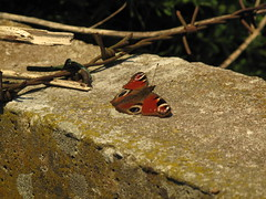 Barbwire Butterfly (Altherrenabend) Tags: aglais io insekt schmetterling tagpfauenauge tagfalter edelfalter nymphalidae fleckenfalter