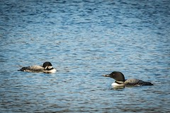 All that's missing is the fog . . . (Dr. Farnsworth) Tags: loons birds large pair singing noise westlake mi michigan spring april2017