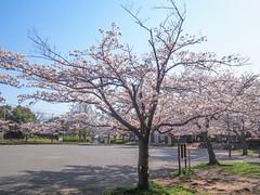 Sakura Park (INZM.) Tags: 桜 さくら サクラ japan sakura 満開 cherrytree fullbloom cherry tree cherryblossoms cherryblossom park sakurapark shot spring 2017 blossoms