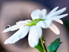 Yin Yang (sandrafons) Tags: nikond7100 nikon macrodrop macroflower macro closeup beautiful reflection floral yinyang drop margarita flower