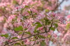 Bloesem (Chantal van Breugel) Tags: macro bloesem appelbloesem lente espel noordoostpolder flevoland april 2017 canon5dmark111 canon100mm