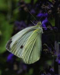 Butterfly_SAF7549 (sara97) Tags: missouri butterfly copyright©2016saraannefinke flyinginsect insect nature outdoors photobysaraannefinke pollinator saintlouis towergerovepark